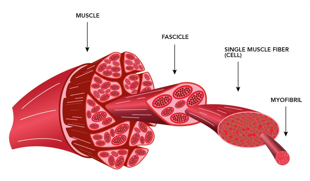muscle fiber anatomy
