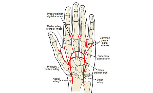 radial artery ulnar artery
